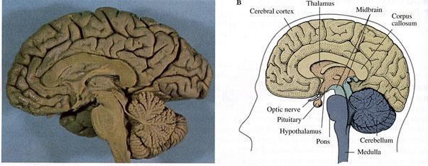 Brain Figures